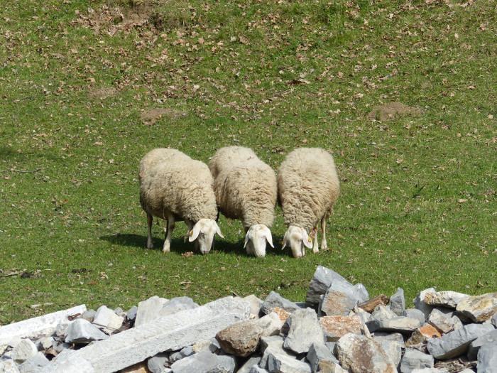 C'est l'histoire de 3 moutons qui aimaient manger ensemble